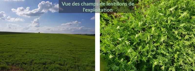 Vue des champs de lentillons de l'exploitation